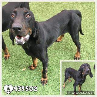 BLACK AND TAN COONHOUND Male  Adult  Dog #A439502#  Animal Care Services (San Antonio) - click here to view larger pic