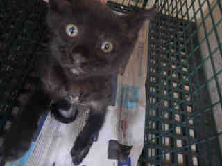 Mix-Bred DOMESTIC SHORTHAIR Male  Young  Kitten #A439512#  Animal Care Services (San Antonio) - click here to view larger pic