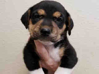 Mix-Bred ROTTWEILER Female  Young  Puppy #A439592#  Animal Care Services (San Antonio) - click here to view larger pic