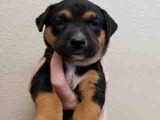 Mix-Bred ROTTWEILER Female  Young  Puppy #A439597#  Animal Care Services (San Antonio) - click here to view larger pic