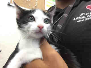 Mix-Bred DOMESTIC SHORTHAIR Male  Young  Kitten #A439598#  Animal Care Services (San Antonio) - click here to view larger pic
