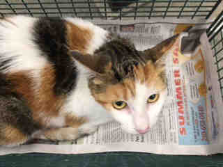 Mix-Bred DOMESTIC SHORTHAIR Female  Adult  Cat #A439608#  Animal Care Services (San Antonio) - click here to view larger pic