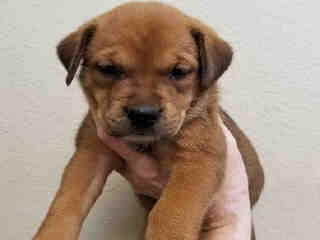 Mix-Bred ROTTWEILER Male  Young  Puppy #A439611#  Animal Care Services (San Antonio) - click here to view larger pic