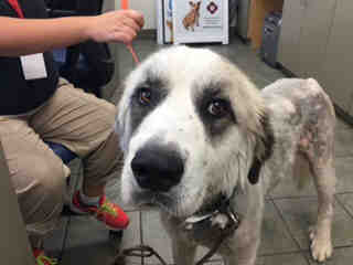 GREAT PYRENEES Male  Young  Puppy #A439621#  Animal Care Services (San Antonio) - click here to view larger pic