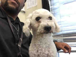 Mix-Bred POODLE - MINIATURE Female  Adult  Dog #A439623#  Animal Care Services (San Antonio) - click here to view larger pic