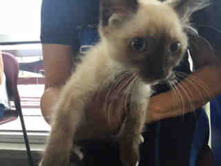 Mix-Bred DOMESTIC MEDIUMHAIR Male  Young  Kitten #A439628#  Animal Care Services (San Antonio) - click here to view larger pic