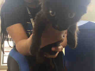 Mix-Bred DOMESTIC SHORTHAIR Female  Young  Kitten #A439630#  Animal Care Services (San Antonio) - click here to view larger pic