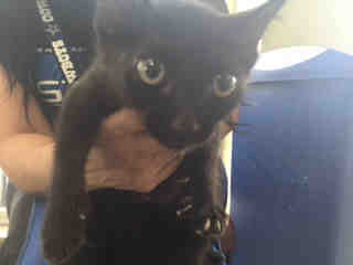 Mix-Bred DOMESTIC SHORTHAIR Male  Young  Kitten #A439633#  Animal Care Services (San Antonio) - click here to view larger pic