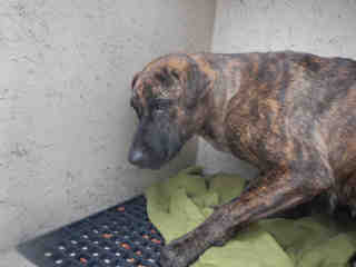 Mix-Bred SHEPHERD Female  Adult  Dog #A439644#  Animal Care Services (San Antonio) - click here to view larger pic