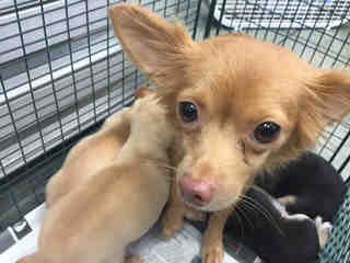 CHIHUAHUA - LONG HAIRED Female  Adult  Dog #A439652#  Animal Care Services (San Antonio) - click here to view larger pic