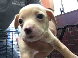 CHIHUAHUA - SMOOTH COATED Male  Young  Puppy #A439663#  Animal Care Services (San Antonio) - click here to view larger pic