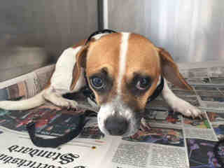 Mix-Bred BEAGLE Male  Adult  Dog #A439670#  Animal Care Services (San Antonio) - click here to view larger pic