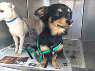 CHIHUAHUA - LONG HAIRED Female  Adult  Dog #A439690#  Animal Care Services (San Antonio) - click here to view larger pic