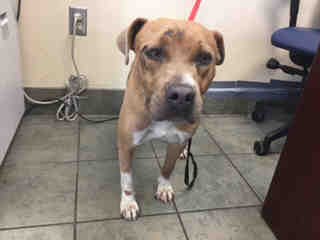 Mix-Bred AMERICAN STAFFORDSHIRE TERRIER Female  Young  Puppy #A439702#  Animal Care Services (San Antonio) - click here to view larger pic