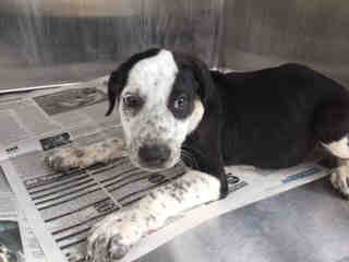 Mix-Bred AUSTRALIAN CATTLE DOG Female  Young  Puppy #A439704#  Animal Care Services (San Antonio) - click here to view larger pic