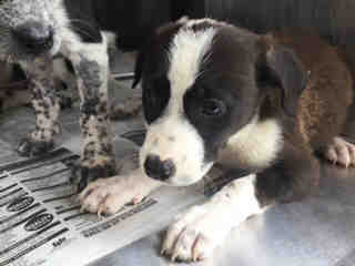 Mix-Bred AUSTRALIAN CATTLE DOG Female  Young  Puppy #A439707#  Animal Care Services (San Antonio) - click here to view larger pic