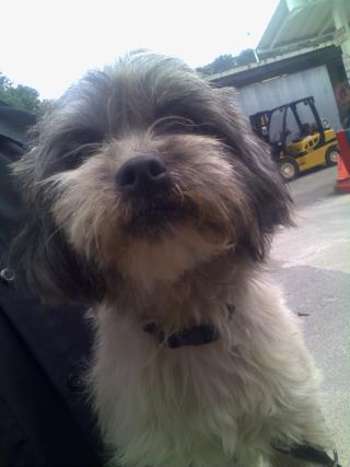 Mix-Bred SHIH TZU Female  Young  Puppy #A439708#  Animal Care Services (San Antonio) - click here to view larger pic