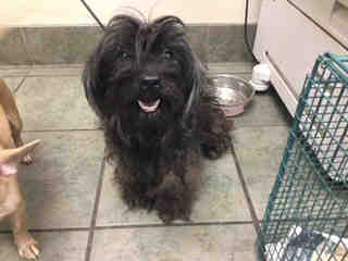 Mix-Bred POODLE - TOY Female  Adult  Dog #A439716#  Animal Care Services (San Antonio) - click here to view larger pic