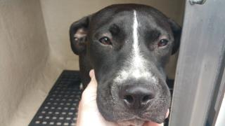 Mix-Bred AMERICAN STAFFORDSHIRE TERRIER Female  Young  Puppy #A439742#  Animal Care Services (San Antonio) - click here to view larger pic