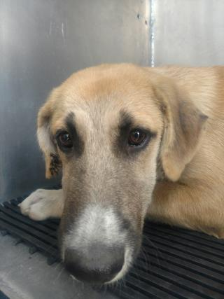 Mix-Bred SHEPHERD Male  Young  Puppy #A439745#  Animal Care Services (San Antonio) - click here to view larger pic