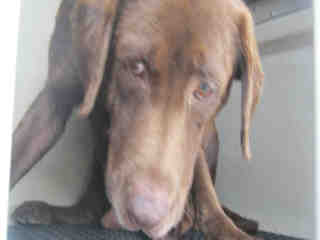 LABRADOR RETRIEVER Male  Adult  Dog #A439751#  Animal Care Services (San Antonio) - click here to view larger pic