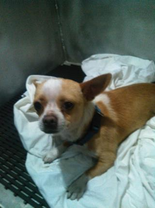 Mix-Bred CHIHUAHUA - SMOOTH COATED Male  Adult  Dog #A439760#  Animal Care Services (San Antonio) - click here to view larger pic