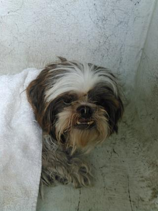 <u>SHIH TZU Male  Older  Dog </u>