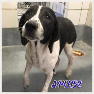 <u> Mix-Bred ENGLISH POINTER Female  Adult  Dog  (Secondary Breed: BEAGLE)</u>
