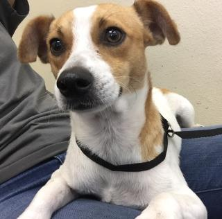 <u> Mix-Bred JACK (PARSON) RUSSELL TERRIER Male  Young  Puppy  (Secondary Breed: BLEND)</u>