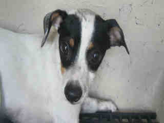 <u> Mix-Bred RAT TERRIER Female  Adult  Dog  (Secondary Breed: BLEND)</u>