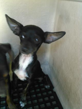 <u>CHIHUAHUA - SMOOTH COATED Male  Young  Puppy </u>