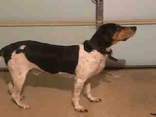 <u> Mix-Bred TREEING WALKER COONHOUND Male  Adult  Dog  (Secondary Breed: BLEND)</u>