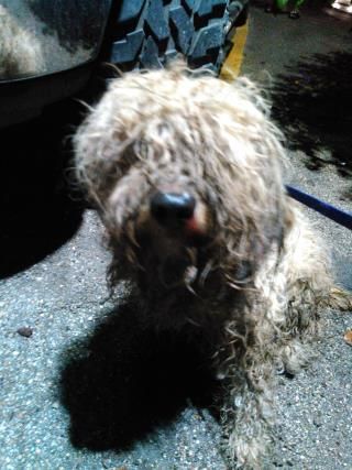 <u> Mix-Bred POODLE - MINIATURE Male  Adult  Dog  (Secondary Breed: BLEND)</u>