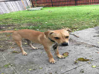 <u> Mix-Bred BLACK MOUTH CUR Male  Young  Puppy  (Secondary Breed: BLEND)</u>