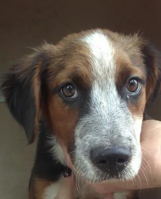 <u> Mix-Bred COLLIE - ROUGH Female  Young  Puppy  (Secondary Breed: BLEND)</u>