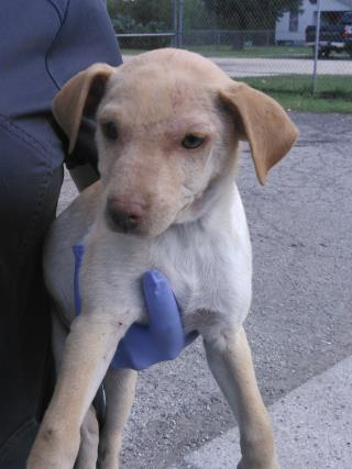 <u> Mix-Bred SHEPHERD Male  Young  Puppy  (Secondary Breed: BLEND)</u>