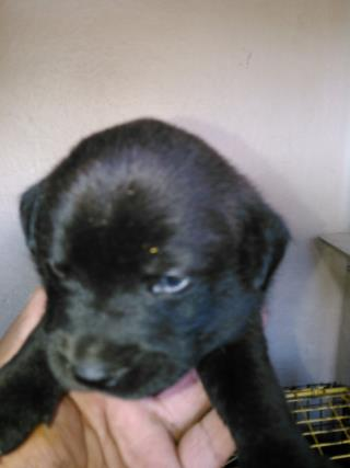 <u> Mix-Bred PIT BULL TERRIER Male  Young  Puppy  (Secondary Breed: BLEND)</u>