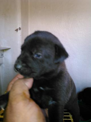 <u> Mix-Bred PIT BULL TERRIER Female  Young  Puppy  (Secondary Breed: BLEND)</u>