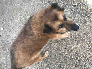 <u> Mix-Bred SHEPHERD Male  Older  Dog  (Secondary Breed: BLEND)</u>