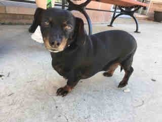 <u>DACHSHUND Male  Adult  Dog </u>