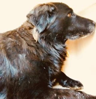 <u> Mix-Bred FLAT-COATED RETRIEVER Male  Adult  Dog  (Secondary Breed: BLEND)</u>