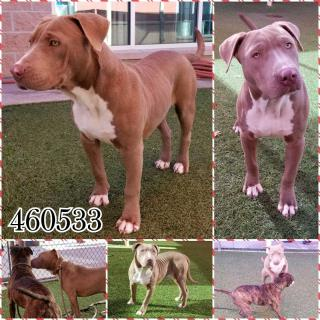 <u>PIT BULL TERRIER Male  Young  Puppy </u>