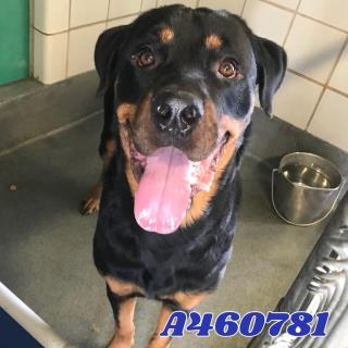 <u>ROTTWEILER Male  Adult  Dog </u>