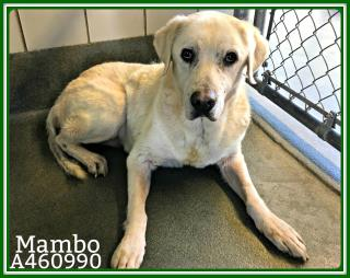 <u>LABRADOR RETRIEVER Male  Older  Dog </u>