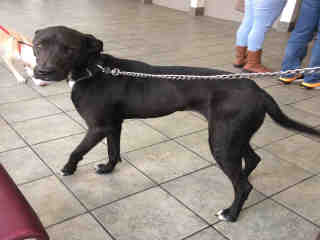 <u>LABRADOR RETRIEVER Male  Adult  Dog </u>