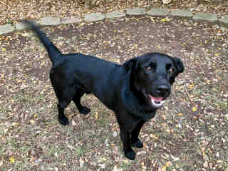 <u> Mix-Bred LABRADOR RETRIEVER Male  Young  Puppy  (Secondary Breed: BLEND)</u>