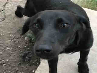 <u> Mix-Bred LABRADOR RETRIEVER Male  Adult  Dog  (Secondary Breed: BLEND)</u>