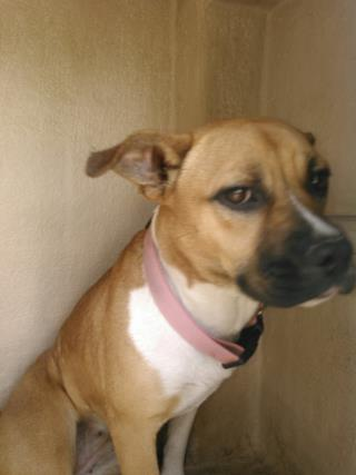 <u> Mix-Bred BOXER Female  Young  Puppy  (Secondary Breed: BLEND)</u>