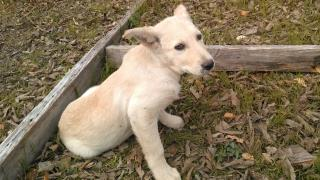 <u> Mix-Bred LABRADOR RETRIEVER Female  Young  Puppy  (Secondary Breed: BLEND)</u>