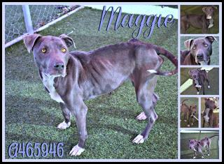 <u> Mix-Bred BLUE LACY Female  Adult  Dog  (Secondary Breed: AMERICAN STAFFORDSHIRE TERRIER)</u>